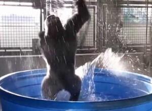 Video Gorilla Dancing Like Ballet Dancer